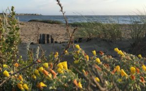 cropped-Yellow-Flowers-on-Beach-Amos-White-3.jpg